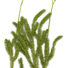 Plant form: Lycopodium clavatum. ~ By Arthur Haines. ~ Copyright © 2017. ~ arthurhaines[at]wildblue.net