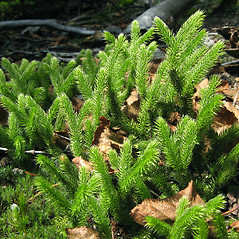 Plant form: Lycopodium clavatum. ~ By Donna Kausen. ~ Copyright © 2017 Donna Kausen. ~ 33 Bears Den, Addison, ME 04606