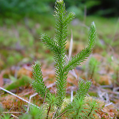 Branches: Lycopodium lagopus. ~ By Arthur Haines. ~ Copyright © 2017. ~ arthurhaines[at]wildblue.net
