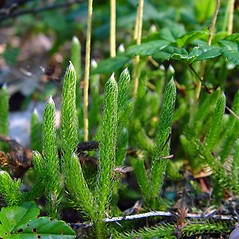 Plant form: Lycopodium lagopus. ~ By Arthur Haines. ~ Copyright © 2017. ~ arthurhaines[at]wildblue.net