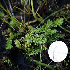 Plant form: Pseudolycopodiella caroliniana. ~ By Robbin Moran. ~ Copyright © 2018 Robbin Moran. ~ rmoran[at]nybg.org ~ Plant Systematics - www.plantsystematics.org/