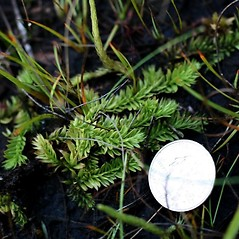 Shoots: Pseudolycopodiella caroliniana. ~ By Robbin Moran. ~ Copyright © 2018 Robbin Moran. ~ rmoran[at]nybg.org ~ Plant Systematics - www.plantsystematics.org/