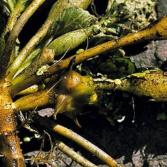 Stems: Trapa natans. ~ By Andrew Nelson. ~ Copyright © 2020 Andrew Nelson. ~ andrew.nelson[at]oswego.edu   ~ New York Flora Atlas - newyork.plantatlas.usf.edu