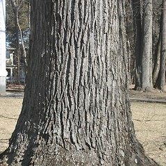 Bark: Liriodendron tulipifera. ~ By Arieh Tal. ~ Copyright © 2018 Arieh Tal. ~ http://botphoto.com/ ~ Arieh Tal - botphoto.com