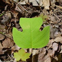 Leaves: Liriodendron tulipifera. ~ By Arthur Haines. ~ Copyright © 2018. ~ arthurhaines[at]wildblue.net