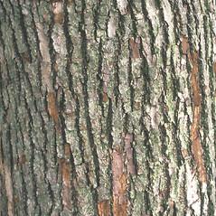 Bark: Magnolia acuminata. ~ By John Lynch. ~ Copyright © 2020 New England Wild Flower Society. ~ Image Request, images[at]newenglandwild.org