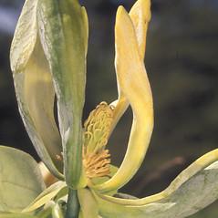 Flowers: Magnolia acuminata. ~ By Adelaide Pratt. ~ Copyright © 2020 New England Wild Flower Society. ~ Image Request, images[at]newenglandwild.org