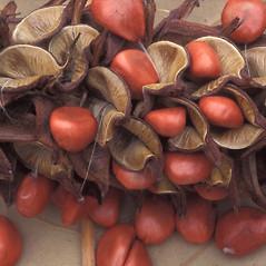 Fruits: Magnolia tripetala. ~ By William Cullina. ~ Copyright © 2019 William Cullina. ~ bill[at]williamcullina.com