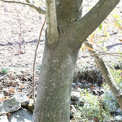 Bark: Magnolia virginiana. ~ By Arieh Tal. ~ Copyright © 2019 Arieh Tal. ~ http://botphoto.com/ ~ Arieh Tal - botphoto.com