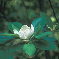 Flowers: Magnolia virginiana. ~ By Dorothy Long. ~ Copyright © 2019 New England Wild Flower Society. ~ Image Request, images[at]newenglandwild.org