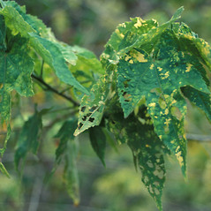 Leaves: Abutilon pictum. ~ By Kim Starr. ~ Copyright © 2020 CC BY 3.0. ~ starrimages[at]hear.org ~ Plants of Hawaii - www.hear.org/starr/images/?o=plants