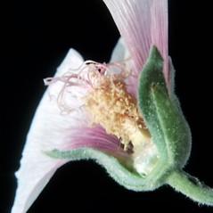 Flowers: Alcea rosea. ~ By Carol Levine. ~ Copyright © 2018 Carol Levine. ~ carolflora[at]optonline.net