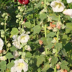 Plant form: Alcea rosea. ~ By Charles Brun. ~ Copyright © 2018. ~ brunc[at]wsu.edu ~ Pacific Northwest Plants - www.pnwplants.wsu.edu/