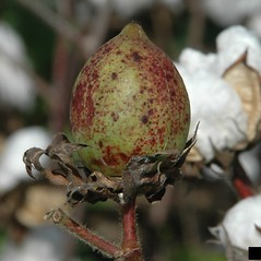 Fruits: Gossypium hirsutum. ~ By Joseph LaForest. ~ Copyright © 2018 CC BY-NC 3.0. ~  ~ Bugwood - www.bugwood.org/