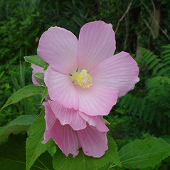 Flowers: Hibiscus moscheutos. ~ By Arthur Haines. ~ Copyright © 2020. ~ arthurhaines[at]wildblue.net