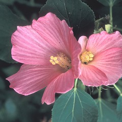 Flowers: Hibiscus moscheutos. ~ By Alice Lucas. ~ Copyright © 2019 New England Wild Flower Society. ~ Image Request, images[at]newenglandwild.org