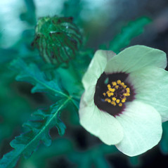 Flowers: Hibiscus trionum. ~ By Jean Baxter. ~ Copyright © 2018 New England Wild Flower Society. ~ Image Request, images[at]newenglandwild.org