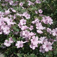 Plant form: Lavatera trimestris. ~  ~ Copyright © 2020. ~