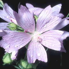 Flowers: Malva moschata. ~ By Frank Bramley. ~ Copyright © 2019 New England Wild Flower Society. ~ Image Request, images[at]newenglandwild.org