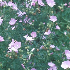 Plant form: Malva moschata. ~ By Albert Bussewitz. ~ Copyright © 2020 New England Wild Flower Society. ~ Image Request, images[at]newenglandwild.org