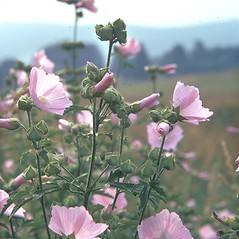 Plant form: Malva moschata. ~ By Jean Baxter. ~ Copyright © 2020 New England Wild Flower Society. ~ Image Request, images[at]newenglandwild.org