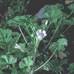 Leaves: Malva neglecta. ~ By Frank Bramley. ~ Copyright © 2019 New England Wild Flower Society. ~ Image Request, images[at]newenglandwild.org
