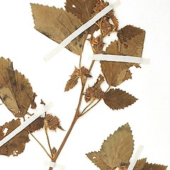 Leaves: Malvastrum coromandelianum. ~ By William and Linda Steere and the C.V. Starr Virtual Herbarium. ~ Copyright © 2018 William and Linda Steere and the C.V. Starr Virtual Herbarium. ~ Barbara Thiers, Director; bthiers[at]nybg.org ~ C.V. Starr Herbarium - NY Botanical Gardens