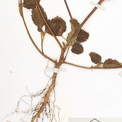 Stems: Malvastrum coromandelianum. ~ By William and Linda Steere and the C.V. Starr Virtual Herbarium. ~ Copyright © 2018 William and Linda Steere and the C.V. Starr Virtual Herbarium. ~ Barbara Thiers, Director; bthiers[at]nybg.org ~ C.V. Starr Herbarium - NY Botanical Gardens
