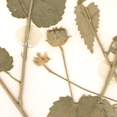 Fruits: Pseudabutilon stuckertii. ~ By William and Linda Steere and the C.V. Starr Virtual Herbarium. ~ Copyright © 2020 William and Linda Steere and the C.V. Starr Virtual Herbarium. ~ Barbara Thiers, Director; bthiers[at]nybg.org ~ C.V. Starr Herbarium - NY Botanical Gardens
