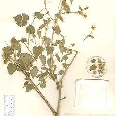 Plant form: Pseudabutilon stuckertii. ~ By William and Linda Steere and the C.V. Starr Virtual Herbarium. ~ Copyright © 2019 William and Linda Steere and the C.V. Starr Virtual Herbarium. ~ Barbara Thiers, Director; bthiers[at]nybg.org ~ C.V. Starr Herbarium - NY Botanical Gardens