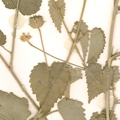 Leaves: Pseudabutilon stuckertii. ~ By William and Linda Steere and the C.V. Starr Virtual Herbarium. ~ Copyright © 2019 William and Linda Steere and the C.V. Starr Virtual Herbarium. ~ Barbara Thiers, Director; bthiers[at]nybg.org ~ C.V. Starr Herbarium - NY Botanical Gardens