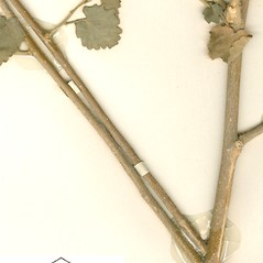 Stems: Pseudabutilon stuckertii. ~ By William and Linda Steere and the C.V. Starr Virtual Herbarium. ~ Copyright © 2020 William and Linda Steere and the C.V. Starr Virtual Herbarium. ~ Barbara Thiers, Director; bthiers[at]nybg.org ~ C.V. Starr Herbarium - NY Botanical Gardens