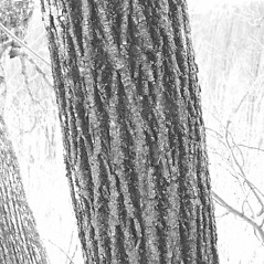 Bark: Tilia americana. ~ By Arthur Haines. ~ Copyright © 2019. ~ arthurhaines[at]wildblue.net