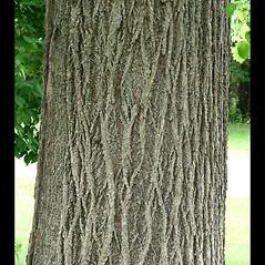 Bark: Tilia americana. ~ By Arieh Tal. ~ Copyright © 2018 Arieh Tal. ~ http://botphoto.com/ ~ Arieh Tal - botphoto.com