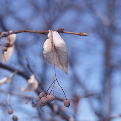 Fruits: Tilia americana. ~ By Carol Levine. ~ Copyright © 2019 Carol Levine. ~ carolflora[at]optonline.net
