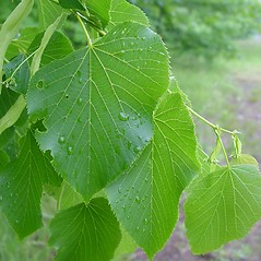 Leaves: Tilia americana. ~ By Arthur Haines. ~ Copyright © 2019. ~ arthurhaines[at]wildblue.net