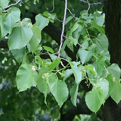 Leaves: Tilia americana. ~ By Arieh Tal. ~ Copyright © 2018 Arieh Tal. ~ http://botphoto.com/ ~ Arieh Tal - botphoto.com