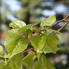 Leaves: Tilia cordata. ~ By Arieh Tal. ~ Copyright © 2018 Arieh Tal. ~ http://botphoto.com/ ~ Arieh Tal - botphoto.com