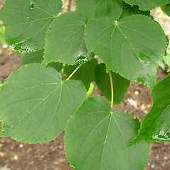 Leaves: Tilia cordata. ~ By Glen Mittelhauser. ~ Copyright © 2018 Glen Mittelhauser. ~ www.mainenaturalhistory.org