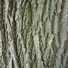 Bark: Tilia platyphyllos. ~ By Louis-M. Landry. ~ Copyright © 2019 Louis-M. Landry. ~ LM.Landry[at]videotron.ca  ~ CalPhotos - calphotos.berkeley.edu/flora/