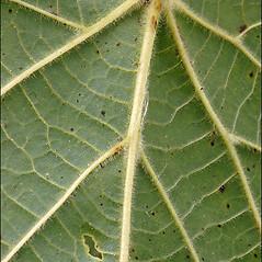 Leaves: Tilia platyphyllos. ~ By Amadej Trnkoczy. ~ Copyright © 2019 Amadej Trnkoczy. ~ amadej.trnkoczy[at]siol.net ~ CalPhotos - calphotos.berkeley.edu/flora/