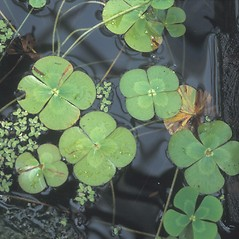 Leaf: Marsilea quadrifolia. ~ By Cheryl Lowe. ~ Copyright © 2020 New England Wild Flower Society. ~ Image Request, images[at]newenglandwild.org
