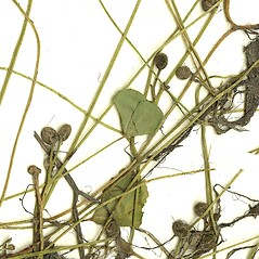 Sori: Marsilea quadrifolia. ~ By Missouri Botanical Garden. ~ Copyright © 2017 CC-BY-NC-SA. ~  ~ Tropicos, Missouri Botanical Garden - www.tropicos.org