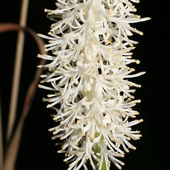 Flowers: Chamaelirium luteum. ~ By Steven Baskauf. ~ Copyright © 2018 CC-BY-NC-SA. ~  ~ Bioimages - www.cas.vanderbilt.edu/bioimages/frame.htm