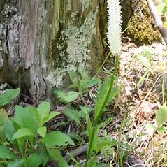 Plant form: Chamaelirium luteum. ~ By Steven Baskauf. ~ Copyright © 2017 CC-BY-NC-SA. ~  ~ Bioimages - www.cas.vanderbilt.edu/bioimages/frame.htm