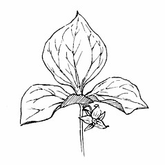 Plant form: Trillium cernuum. ~ By Gordon Morrison. ~ Copyright © 2019 New England Wild Flower Society. ~ Image Request, images[at]newenglandwild.org