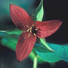 Flowers: Trillium erectum. ~ By Dorothy Long. ~ Copyright © 2018 New England Wild Flower Society. ~ Image Request, images[at]newenglandwild.org