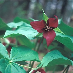 Inflorescences: Trillium erectum. ~ By Dorothy Long. ~ Copyright © 2018 New England Wild Flower Society. ~ Image Request, images[at]newenglandwild.org