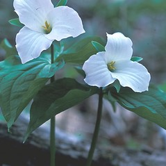 Flowers: Trillium grandiflorum. ~ By Dorothy Long. ~ Copyright © 2019 New England Wild Flower Society. ~ Image Request, images[at]newenglandwild.org