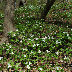 Plant form: Trillium grandiflorum. ~ By Arthur Haines. ~ Copyright © 2017. ~ arthurhaines[at]wildblue.net